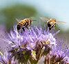 Bienensterben Special