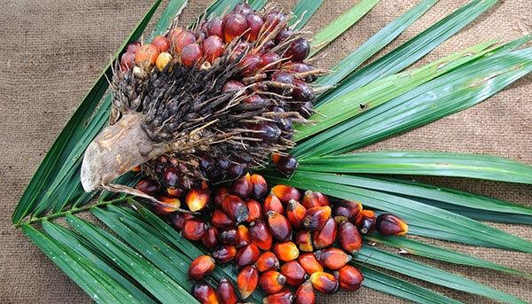Palmöl Ist das Pflanzenfett wirklich krebserregend