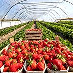 Erdbeeren Meldung