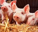 Ferkelkastration: Worauf Käufer von Schweinefleisch achten können