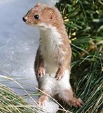 Nagetierbekämpfung: Riskantes Rattengift